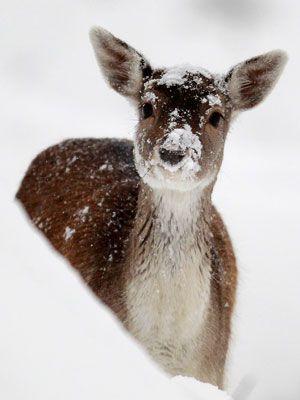 Female Deer - Snow