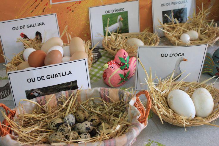 Treballem els animals ovípars. Racó dels diferents ous a l'Escola de El Far.