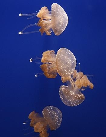 Life of White Spotted Jellyfish | <b>Life of Sea</b> | рыбки