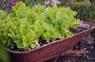 Cool-Season Vegetables: How to Grow Lettuce