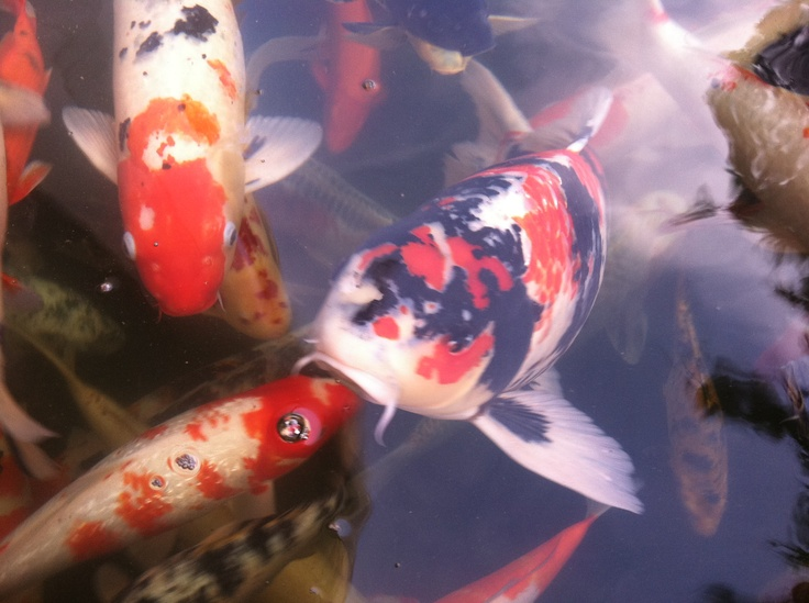 20 best koi pond fish images on pinterest fish ponds for Koi holding pool