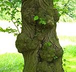 Park Wilhelmsthal: Struktur der Rinde eines vom Alter gezeichneten Baumes