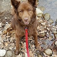 Pine Bush, New York - Australian Shepherd. Meet Polly Potter, a for adoption. https://www.adoptapet.com/pet/20049974-pine-bush-new-york-australian-shepherd-mix