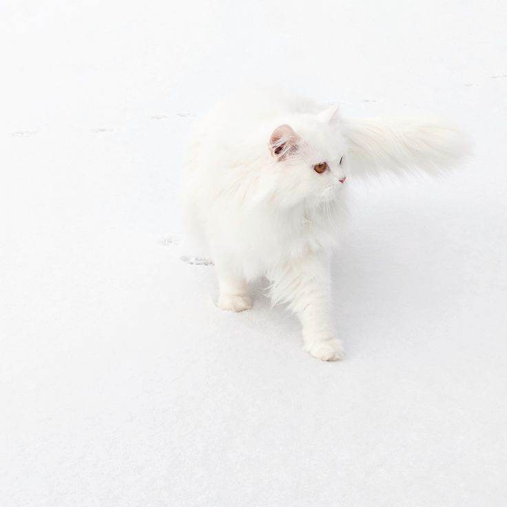 My Persian Cat that was rescued from Kuwait. She really likes to go outside and see the snow. by LuckyDonamere cats kitten catsonweb cute adorable funny sleepy animals nature kitty cutie ca