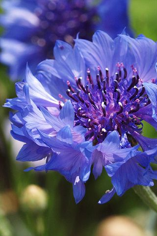 Cornflower (Centaurea cyanus) - oh my, I love these.  These are also called bachelor buttons?
