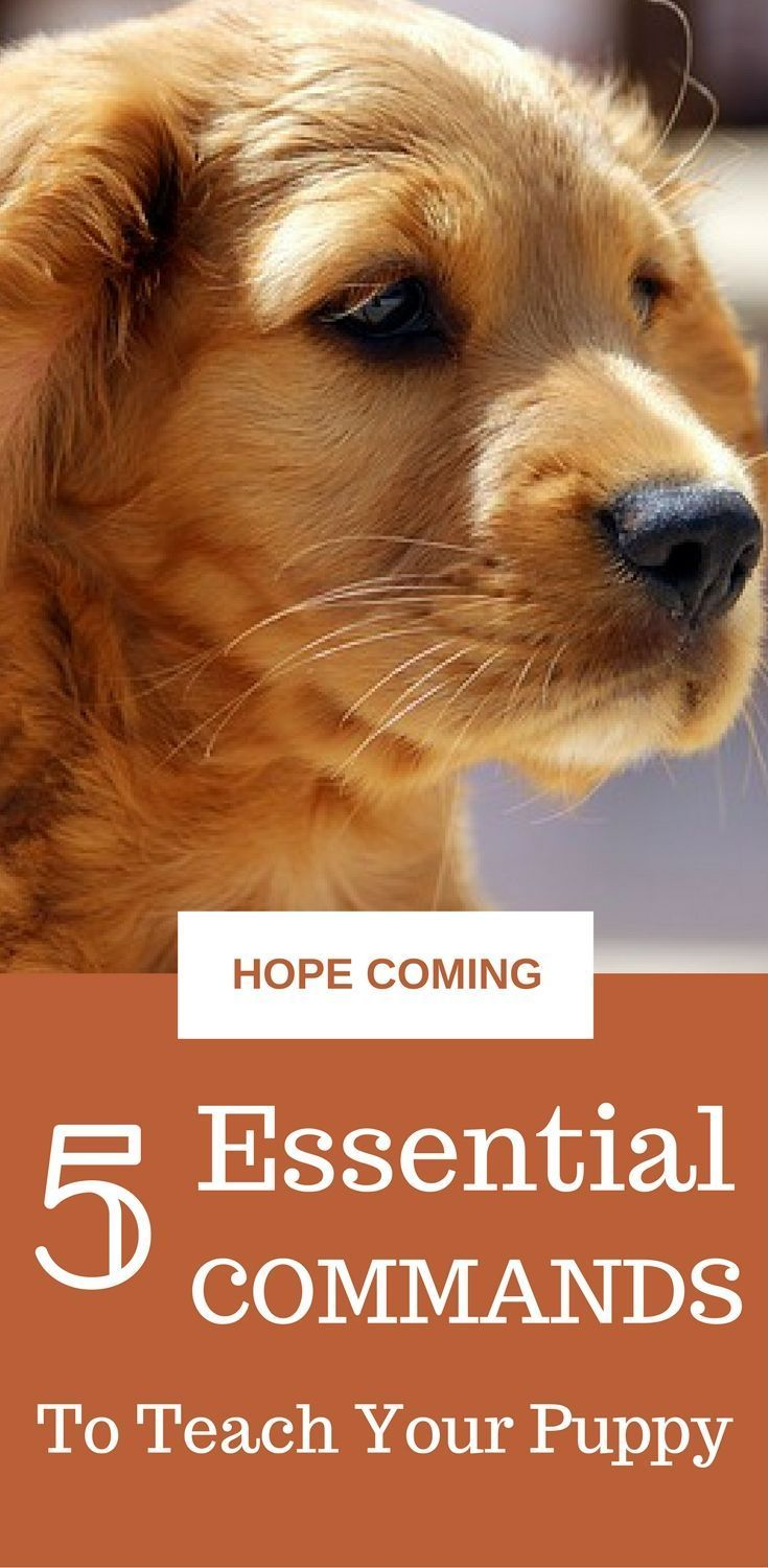 5 Essential commands to teach your puppy || Puppy Training Tips via @KaufmannsPuppy