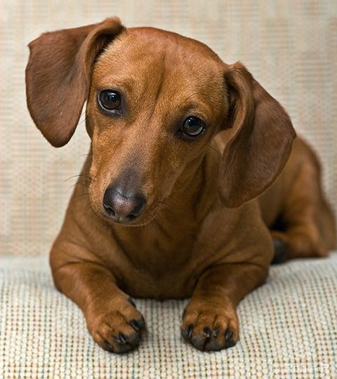 All dachshunds are wonderful.  Red dachsies are special.