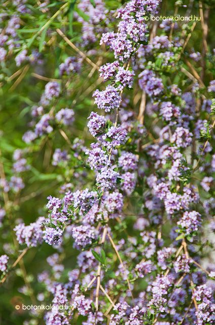 Korai Nyáriorgona (Buddleja alternifolia)