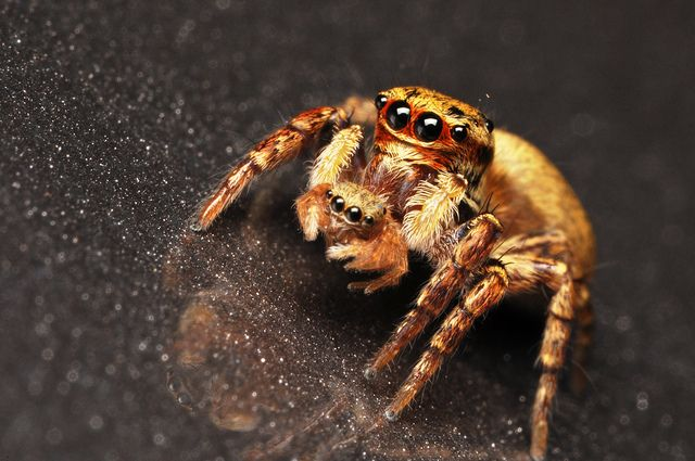 This photo of a jumping spider carrying her baby was taken by Jong Atmosfera.