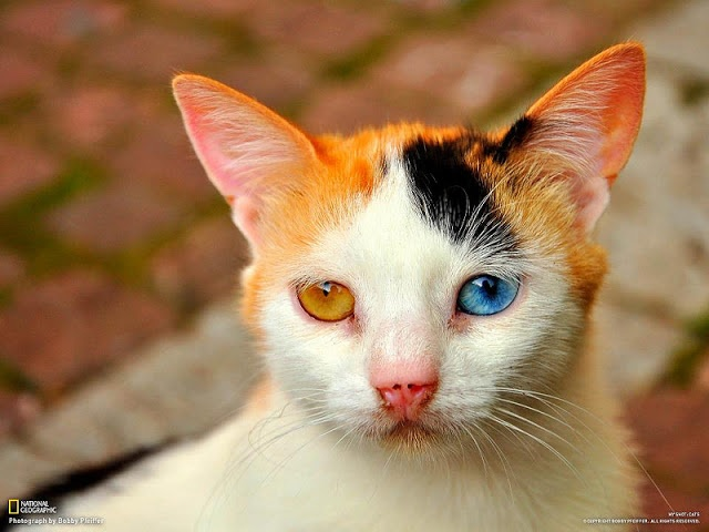 The beautiful strange-eyed kitten