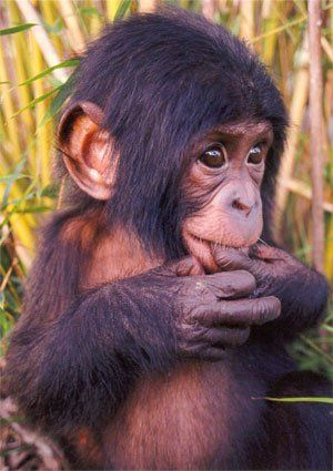 """Bonobo baby posted via sos-animaux-sans-defense.e-monsite.com. Bonobos are members of the great ape family, along with gorillas, orangutans, and chimpanzees. Earlier scientists thought the bonobo Pan paniscus was just a smaller version of the common chimpanzee Pan troglodytes and so the term """"pygmy chimpanzee"""" was used. But don't be fooled! Bonobos and chimps are really quite different."""