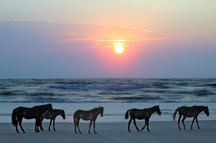 Must go see the wild horses in Corolla, NC!