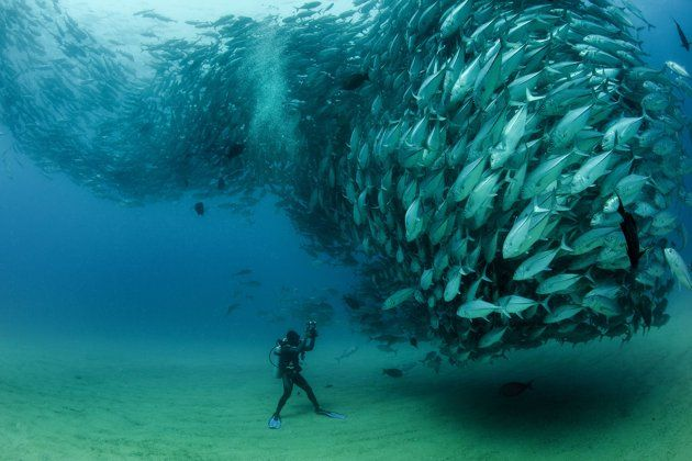 PIC BY OCTAVIO ABURTO / CATERS NEWS - (PICTURED The school of fish gather in front of diver David Castro with his camera) - Smile - its the school photo! This is the hilarious moment a marine photographer managed to capture hundreds of wide-eyed fish apparently posing for a picture. Californian photographer and conservationist Octavio Aburto had spent years photographing the school in Cabo Pulmo National Park, Mexico - and had been trying to capture this exact shot for three years.