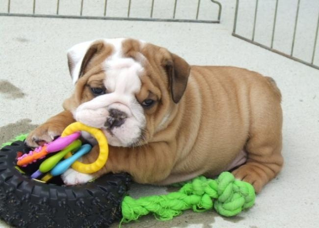 Cute English Bulldog Puppies Adoption English Bulldog Puppies For Adoption I have two beautiful English bulldog puppies, the puppies are current on their vaccinations and veterinary comes with all necessary documents.