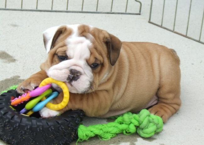 Cute English Bulldog Puppies Adoption English Bulldog