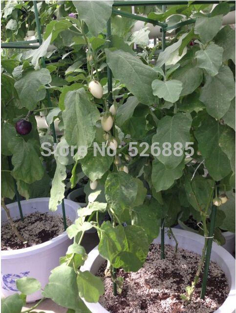 Eggplant, white tomato seeds, non-transgenic tomato vegetables  - 30 Seed particles