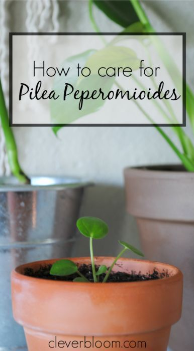 How to care for Pilea Peperomioides on cleverbloom.com