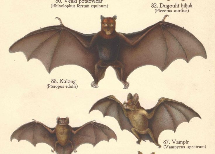 1939 Vintage Bats Mammal Original Lithograph Book Plate by catladycollectibles on Etsy