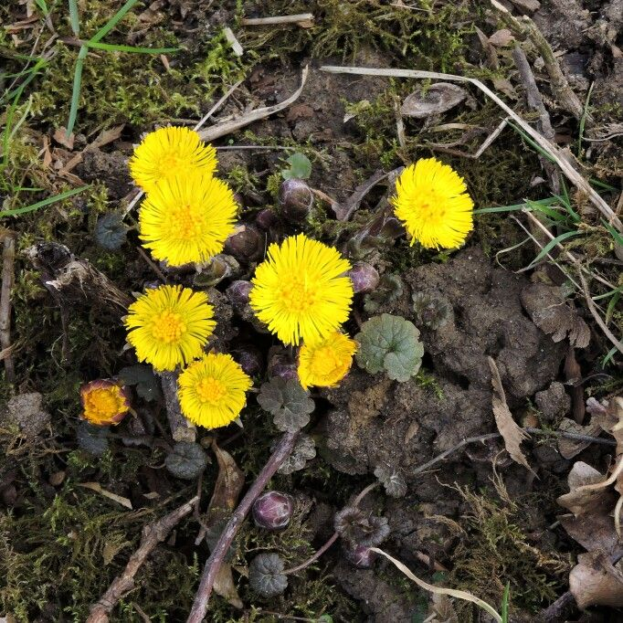 Coltsfoot on the towpath of the Wey and Arun Canal in Loxwood, West Sussex. Come for a walk and see the wildlife along our beautiful canal.