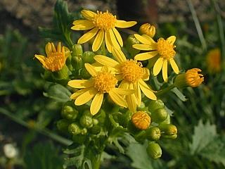 Indiana Field Weed Senecio Glabellus Erweed