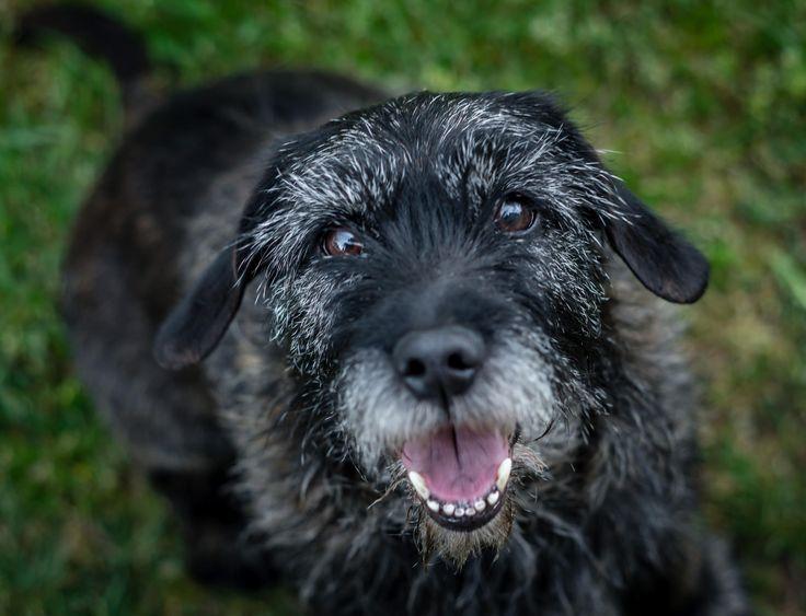 Wilson - Le Jagdterrier ou terrier de chasse allemand a été reconnu officiellement en 1968 par la Fédération Cynologique Internationale qui le répertorie dans le groupe 3, section 1. Petit chien de chasse compact, bien proportionné, le plus souvent noir et feu.