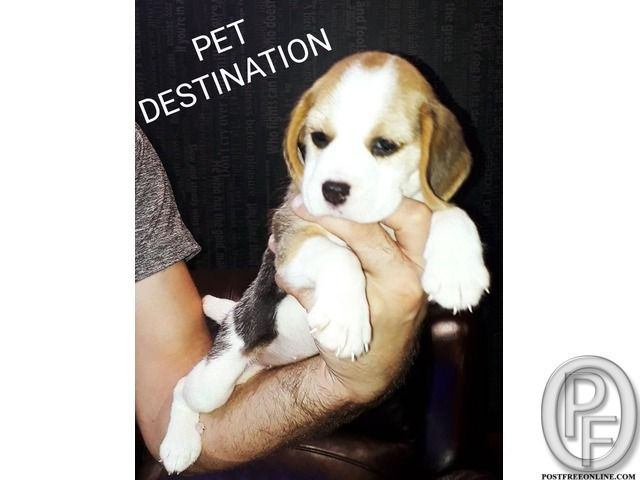 Buy A Beagle Puppy Or Dog In Mumbai Maharashtra India In Pet