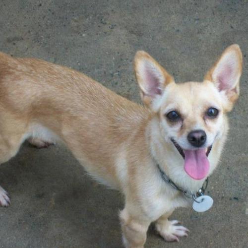 Perro Chihuahua  en adopción en Barcelona