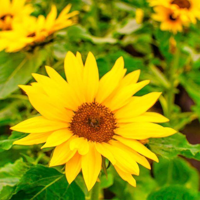 Slonecznik Kwiaty Hryniewicze Kwiaty Kwiatynabalkonie Florystyka Flowerstagram Flowers Sunflower Sunflowers Przyroda Rosliny Nature Plants Instagram