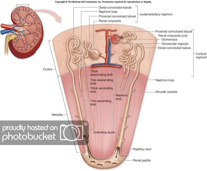 Nephron Anatomy And Physiology Physiology Medical Anatomy