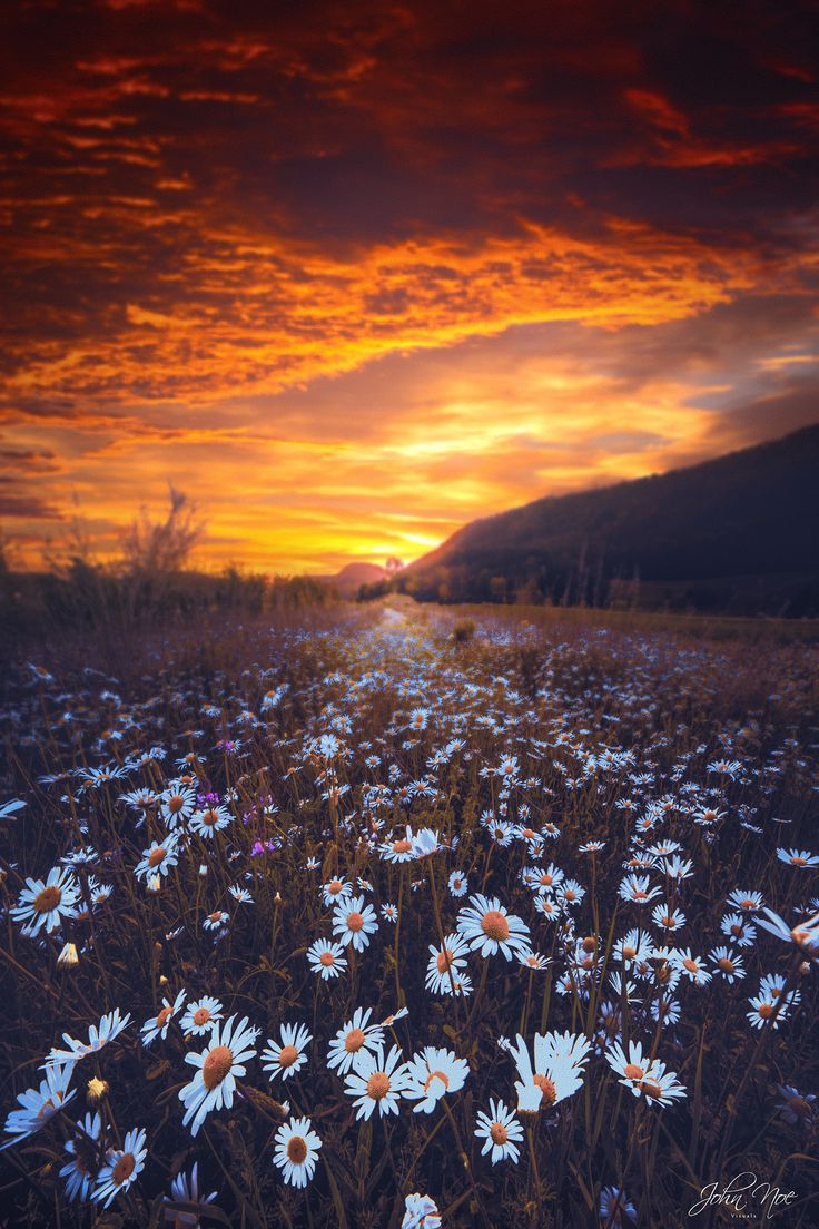And as far as the eye could see the daises spread before the fiery golden  sunset.
