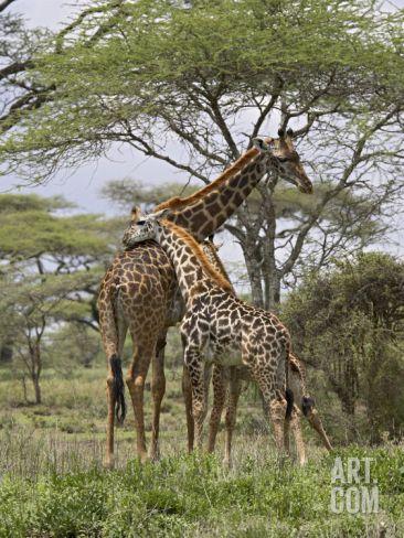 Masai Giraffe Mother and Young, Serengeti National Park, Tanzania, Africa Photographic Print by James Hager at Art.com