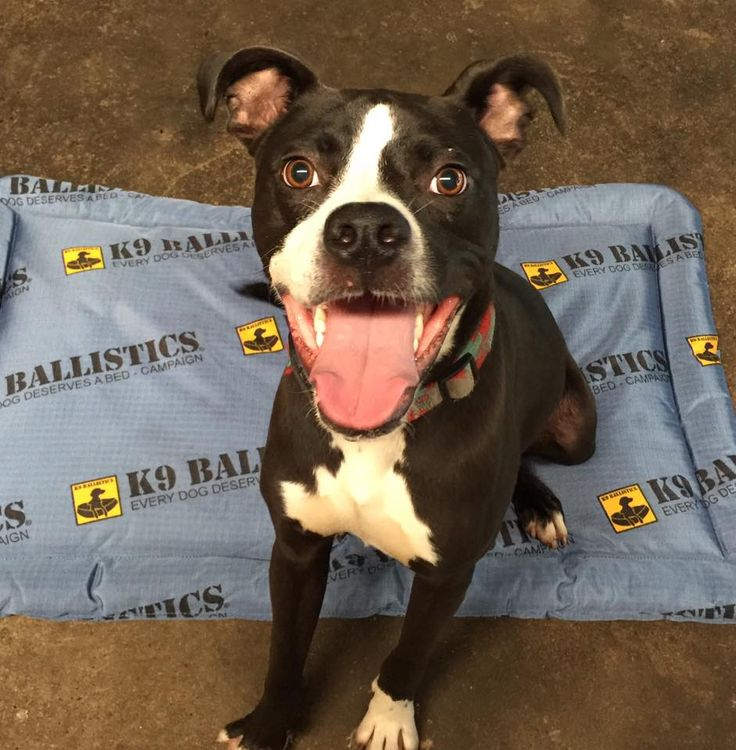 13 best every dog deserves a bed images on pinterest grandes camas everydogdeservesabed and opaadoptable gambit is no exception just look at that smile that says thank you k9 ballistics for the bed donation solutioingenieria Image collections