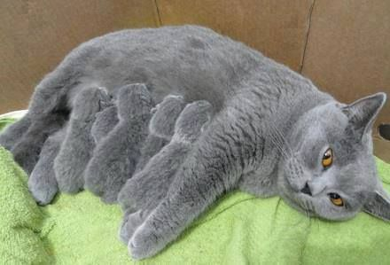 Mama and kittens <3. looks like British Shorthair cats, I love their plush unique coat.