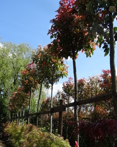 Photinia Red Robin. Photinia Full Standard Trees. For sale. UK