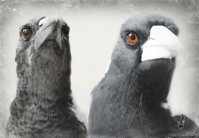 Gobbles & Pigpie - Australian Magpies.