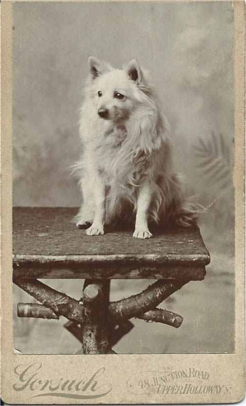 "c.1890 cdv of white spitz sitting on rustic table. Photo taken by Gorsuch, 48 Junction Road, Upper Holloway, London, N. On the back, where an elaborate logo is printed, it says ""Children a Specialty."" I'd add dogs to that. It's a beauty. From bendale collection"