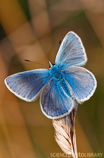 Male common blue butterfly (Polyommatus icarus) on a seedhead -  Credit: Dr. John Brackenbury/Science Photo Library.  Almost looks fake