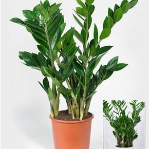 Zamioculcas vermehren: Vom Blatt zur neuen Pflanze
