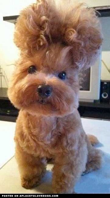 Hair Do Dog: Puppies, Hairstyles, Funny Dogs, Poodle, New Hair, Pet, Big Hair, Hair Looks, Animal
