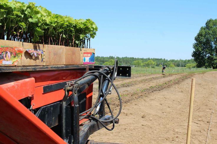 De nouvelles variétés de vignes sont plantées. Elles seront productives dans trois ans.