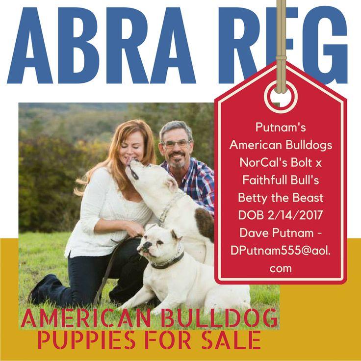ABRA Registered American Bulldog Puppies