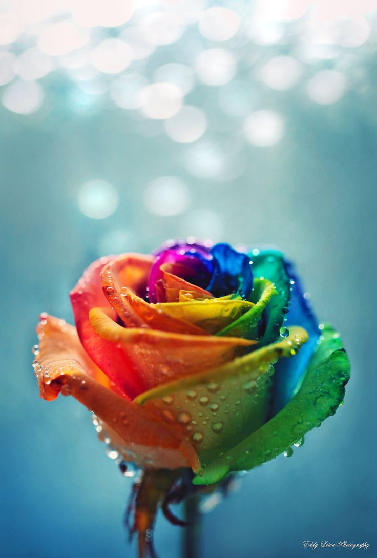 Rainbow rose with raindrops in morning technicolor roses for Pictures of rainbow roses