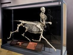 """Centaur 'skeleton' takes science center stage/All the same, the bones of the """"Centaur of Tymfi"""" stands proudly on display at Tucson's International Wildlife Museum in a just-opened exhibit. Nearby is the skull of a """"griffin,"""" a legendary flying lion with an eagle's skull, and the noggin of a """"cyclops,"""" the one-eyed giant of Greek myth. Taking center stage is the centaur, designed by sculptor and zoologist Bill Willers of the University of Wisconsin at Oshkosh."""