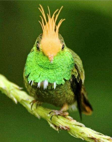 Rufous-crested Coquette Hummingbird!