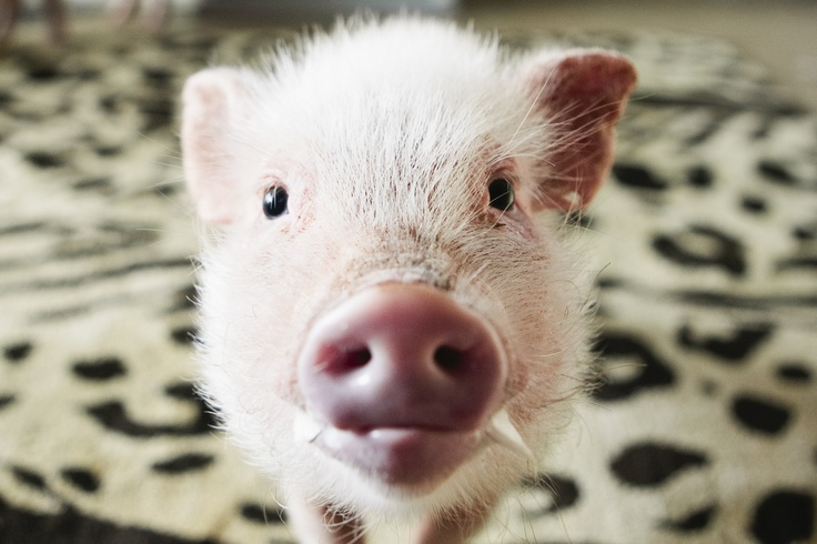 A six month old micro-mini pig. Photo: Stacy Sodolak for The New York Times