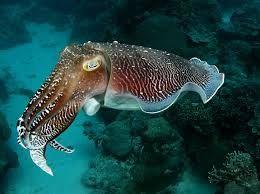 cuttlefish - Google Search