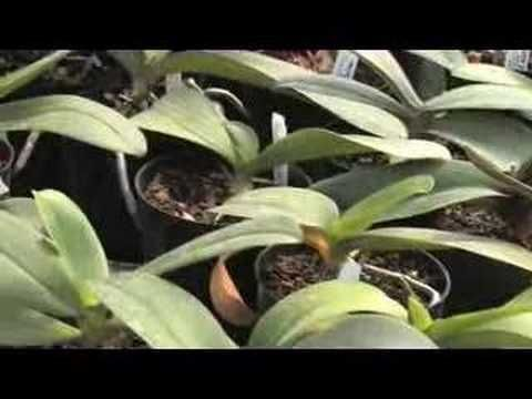 phalaenopsis orchid repotting instructions