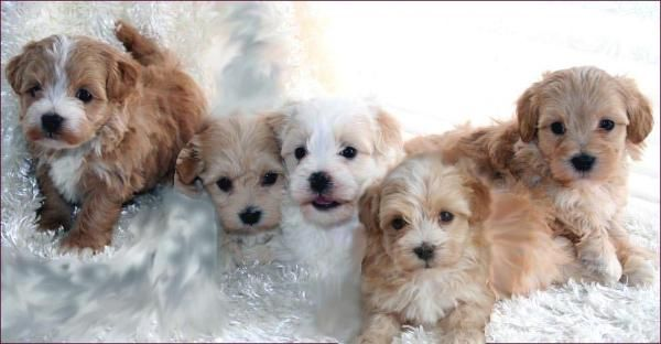 a maltipoo is a cross of what dogs | Maltipoo Puppies for Sale Maltese Toy Poodle Mixed Breed