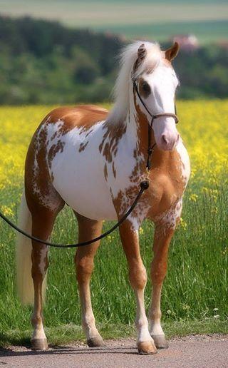 My favorite overo paint coloring -- Sammy, palomino overo paint horse.