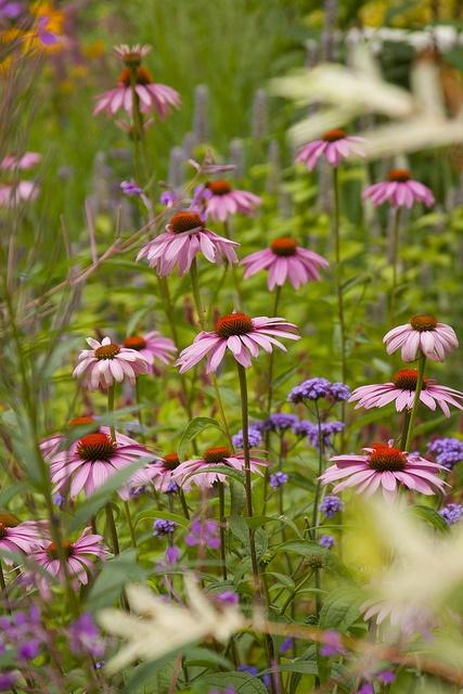 Echinacea purpurea 'Magnus' and Verbena bonariensis 'Lollipop' - Summer 2011 - both great for a bee friendly garden